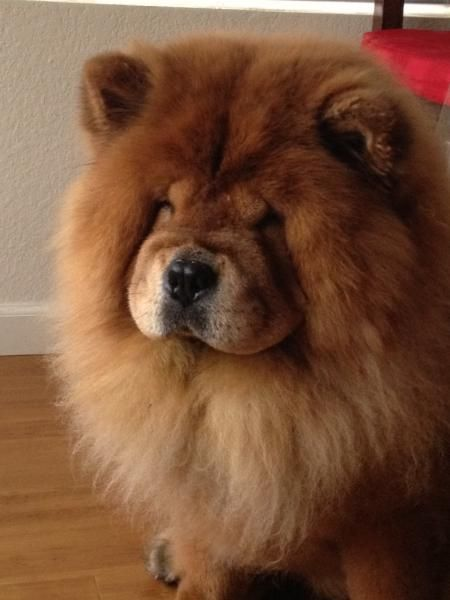 Chow Dog Photo Lost Brown Red Chow Chow San Diego Lost Dogs