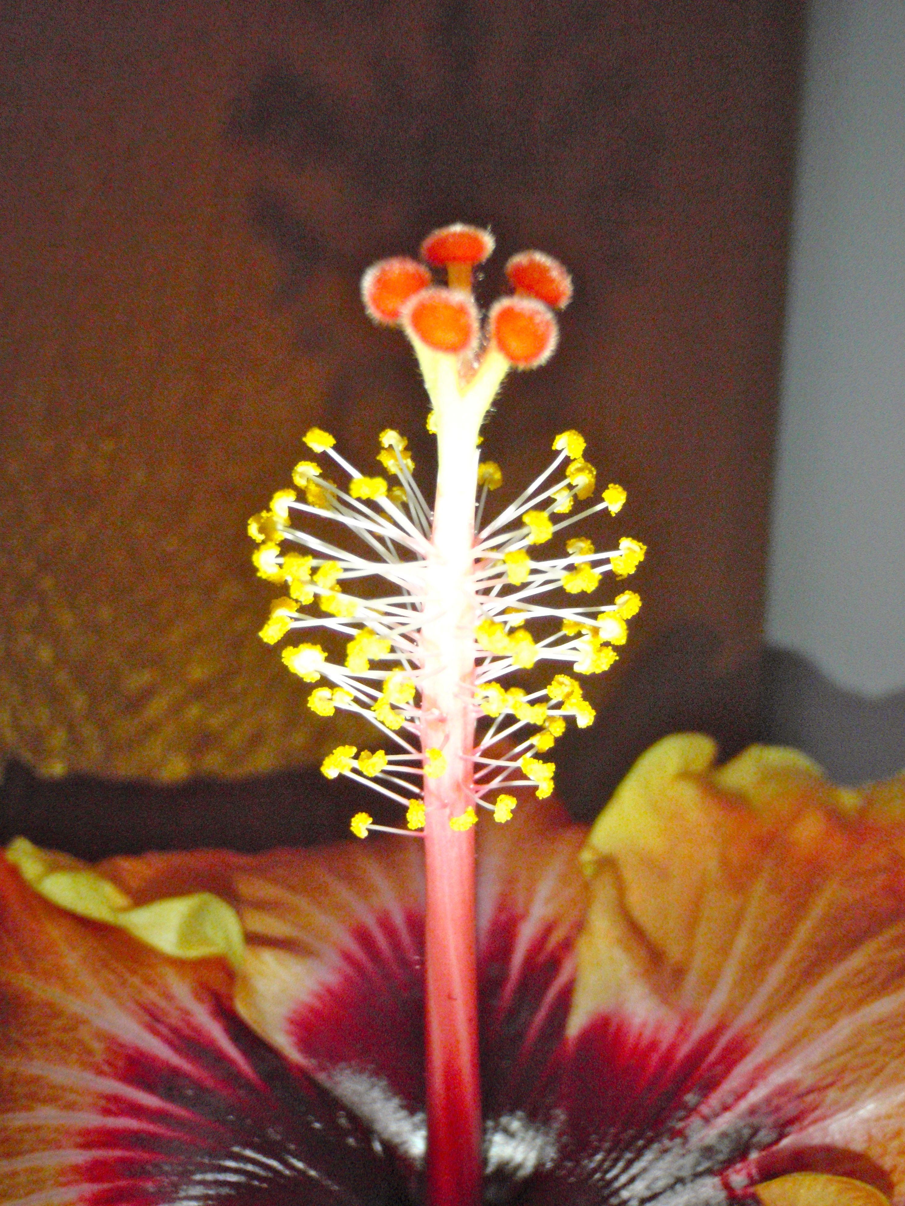 Hibiscus Flower Stamen Flower Stamen Flowers Hibiscus
