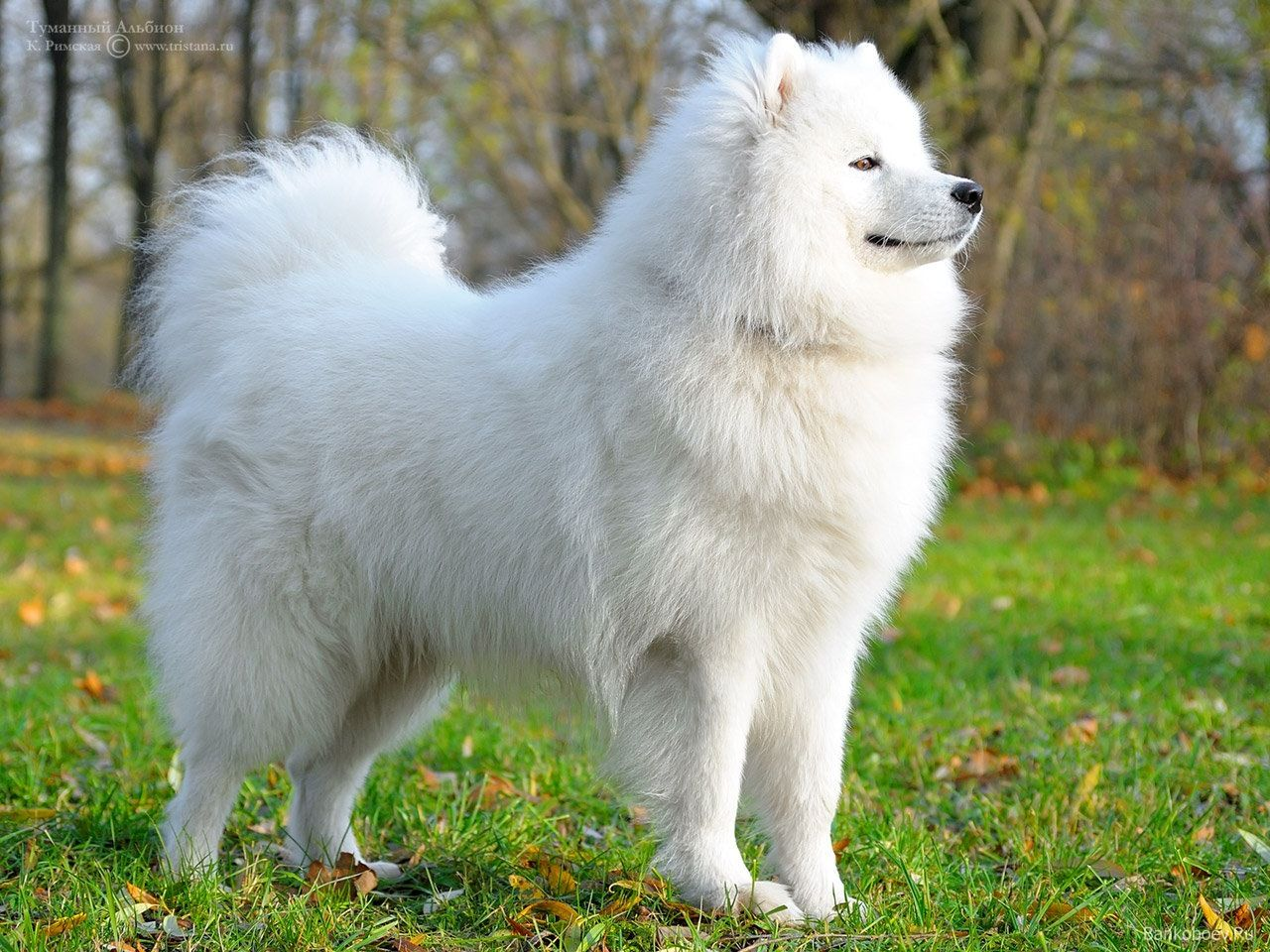 Giant White Fluffy Dog Breed Bred The