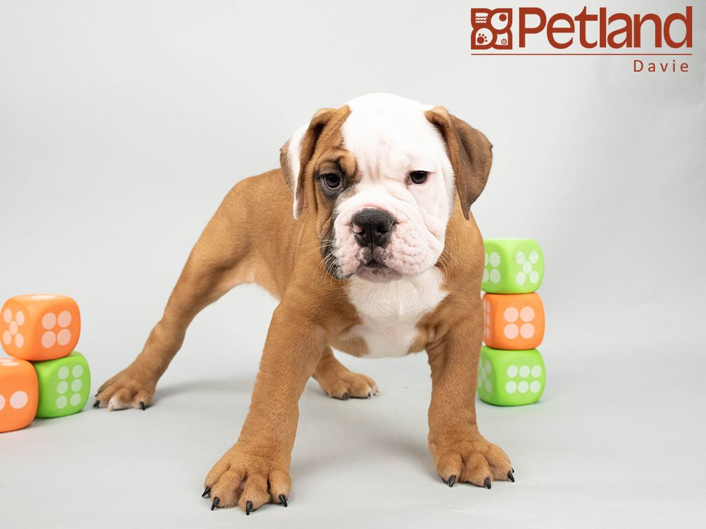 Petland Florida Has Victorian Bulldog Puppies For Sale Interested In Finding Out More About This Breed Check Puppy Friends Victorian Bulldog Bulldog Puppies