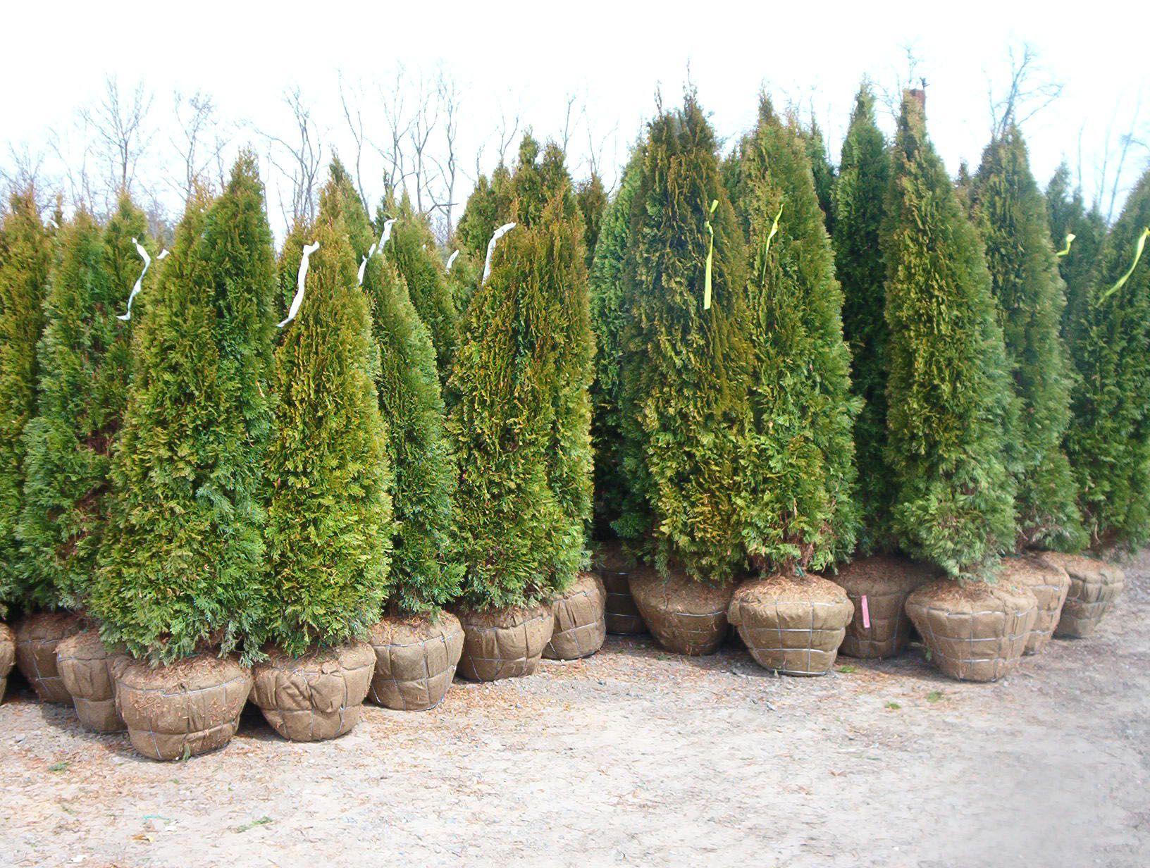 Arborvitae perfect for privacy hedge Garden design