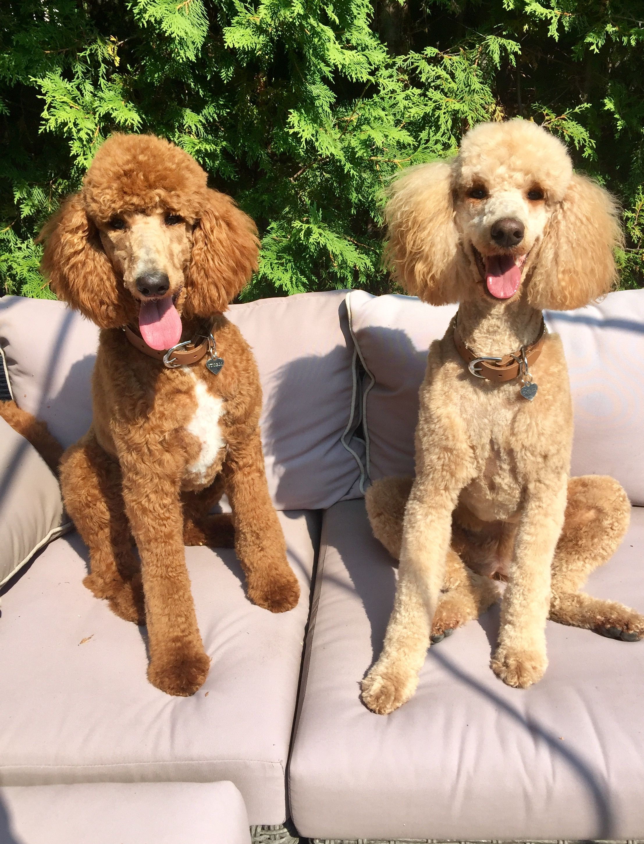 Standard Poodle Storm Bella Red Mismark And Apricot