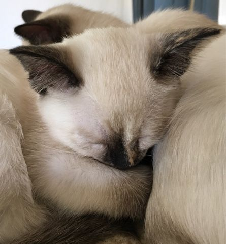 A Boutique Cattery Offering Classic Traditional Applehead Solid And Lynx Point Siamese X2f Balinese Kittens Located In The Ea Siamese Cats Balinese Cat Cats