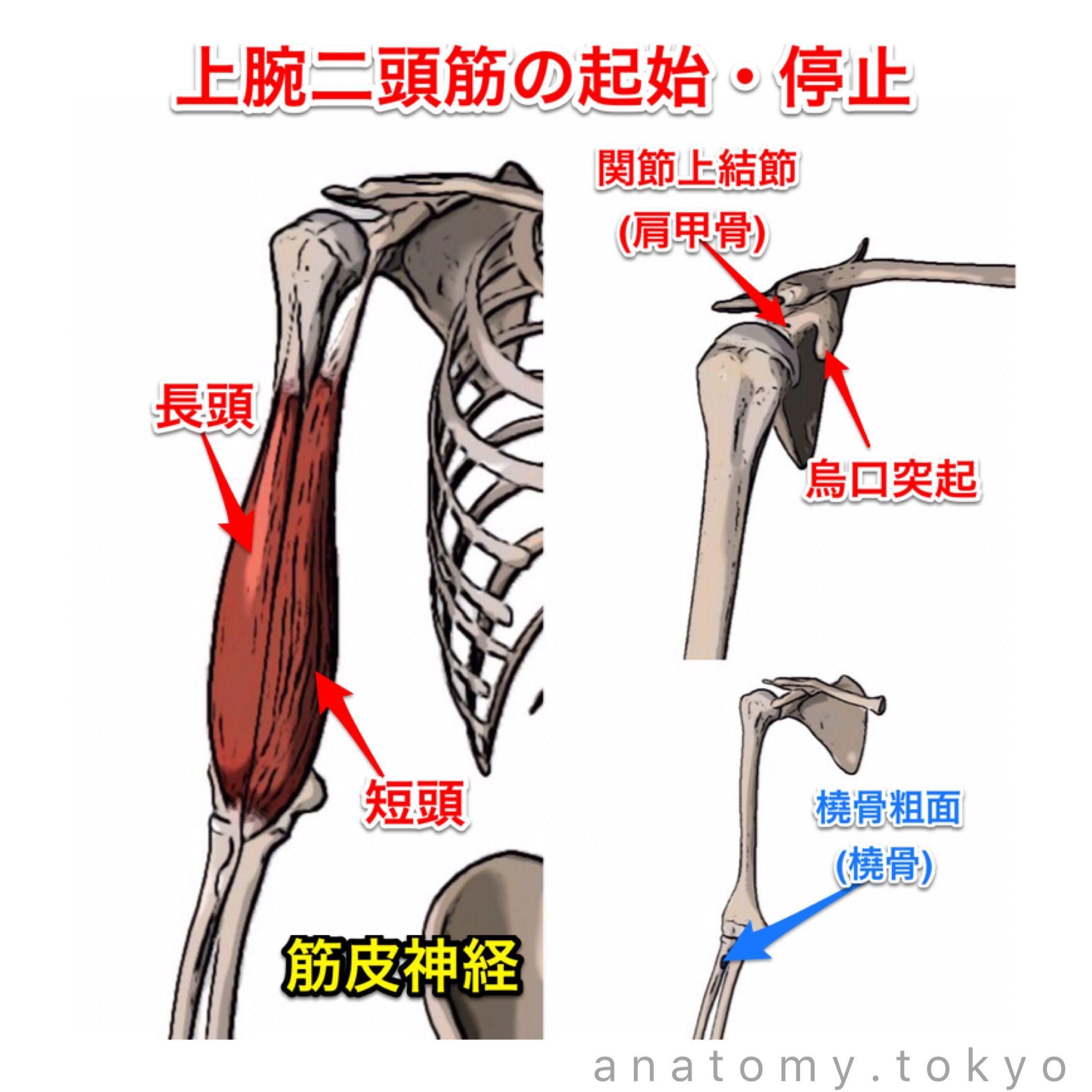 上腕二頭筋の起始は(A. )と(B. )、停止は(C.)、支配神経は(D ...
