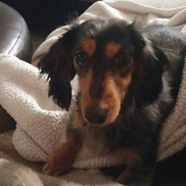 Lost Dog Buffalo Dachshund Long Haired Female Date Lost