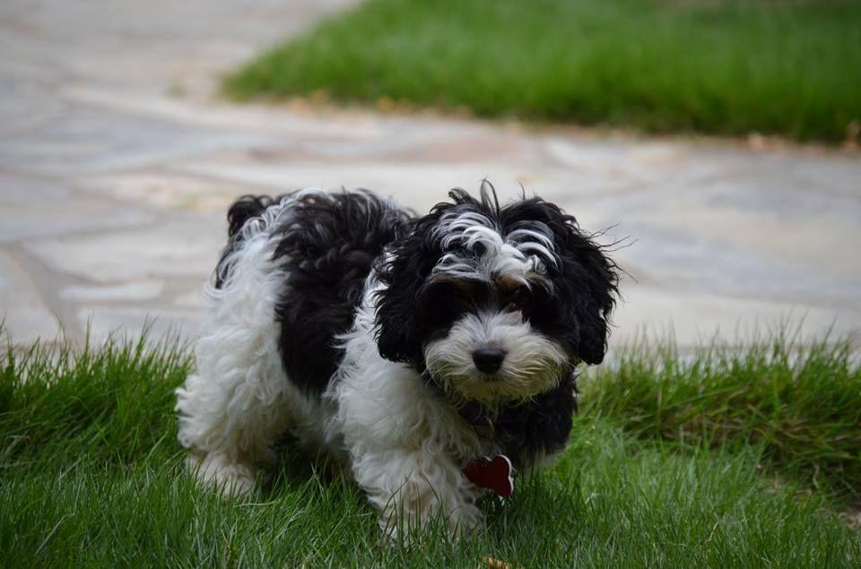 Loveable Springerdoodle Pups For Sale Http Springerdoodles Com