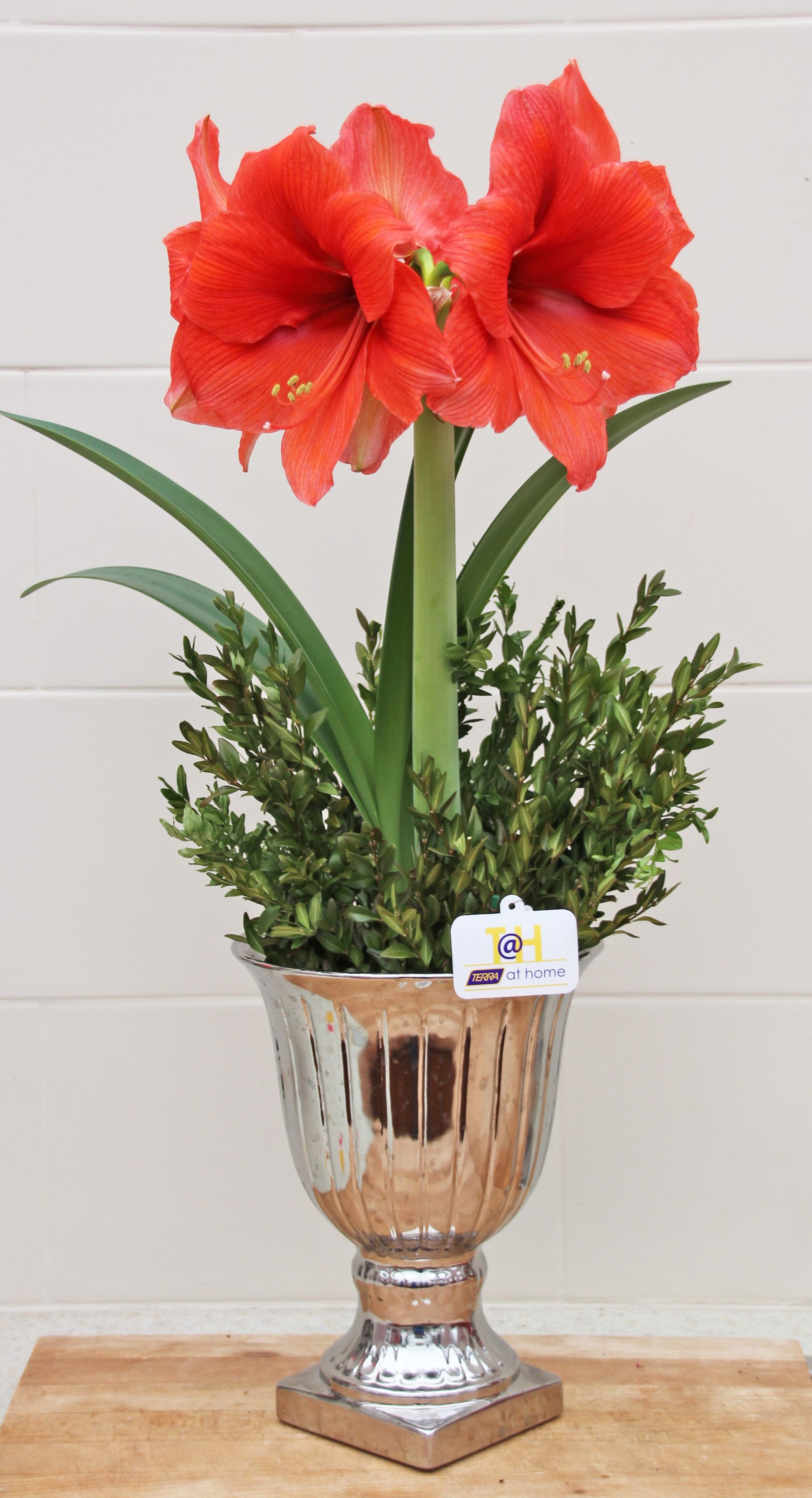 Christmas amaryllis arrangement poinsettia indoor for Poinsettia arrangements