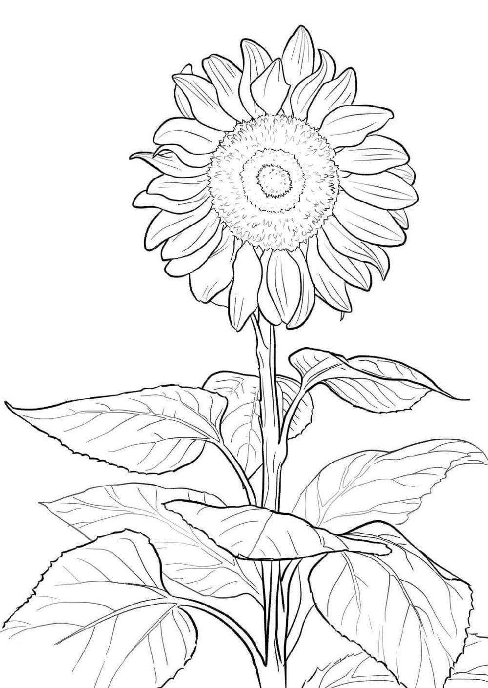 Sunflower Coloring Page For Preschoolers Sunflower Coloring