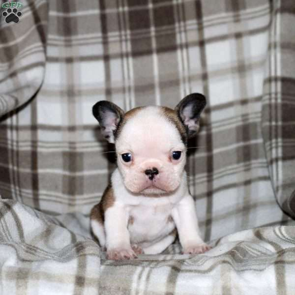 Emma French Bulldog Puppy For Sale in Pennsylvania