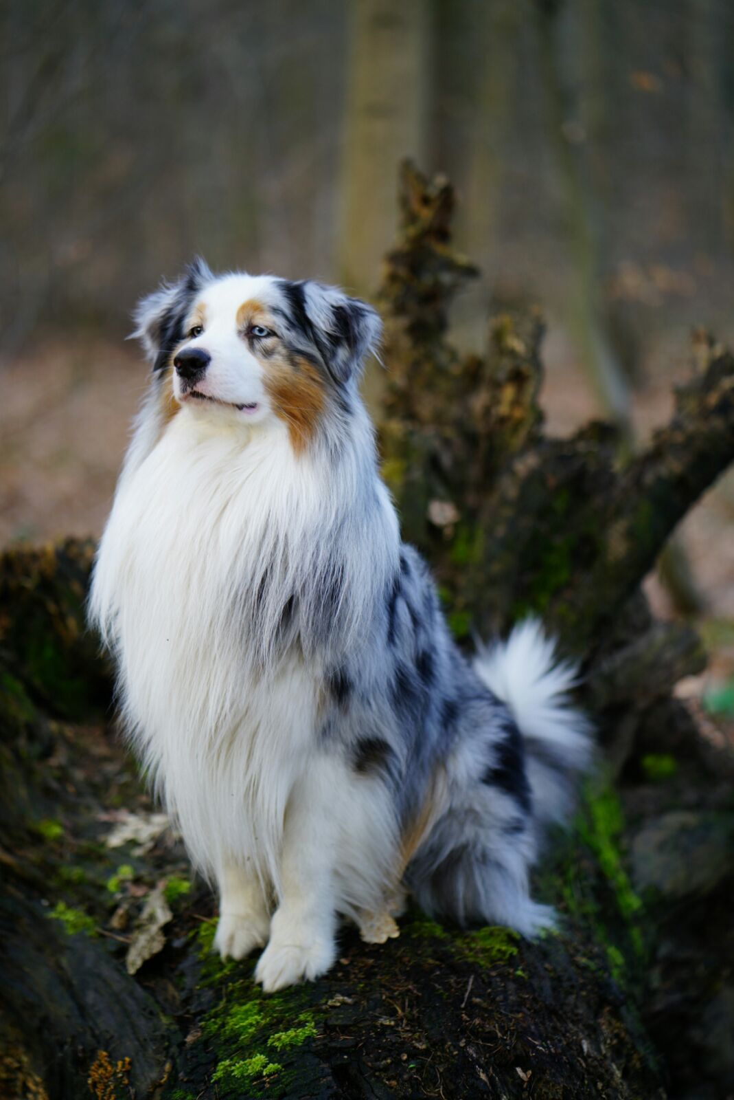 By All Means Champion Australian Shepherd Dogs Australian Shepherd Puppy Australian Shepherd