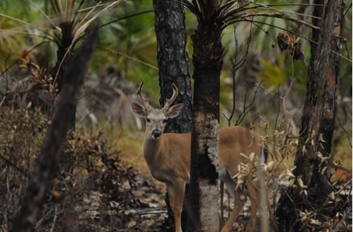 Florida to bulldoze rare pine forest for Walmart?
