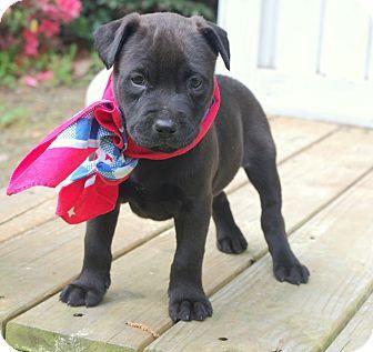Labrador Retriever/French Bulldog Mix Puppy for adoption