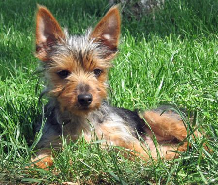 Bella the Silky Terrier