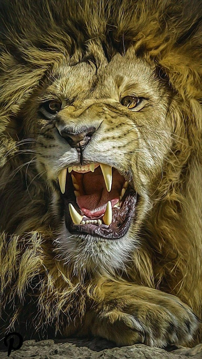 Great Lion Ultra Hd Wallpapers For Andriod Great Lion Ultra Hd Wallpapers For Andriod Download In Link For Lion Pictures Lion Photography Lion Wallpaper