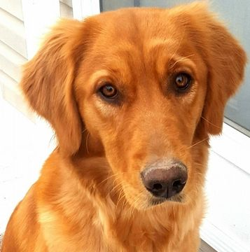Golden Retriever Puppy For Sale In Laramie Wy Adn 33409 On
