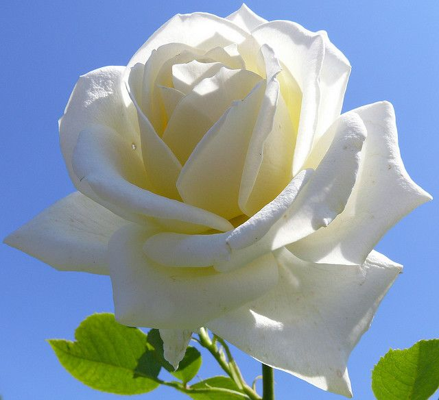 White Rose White Roses Beautiful Flowers White Rose Plant