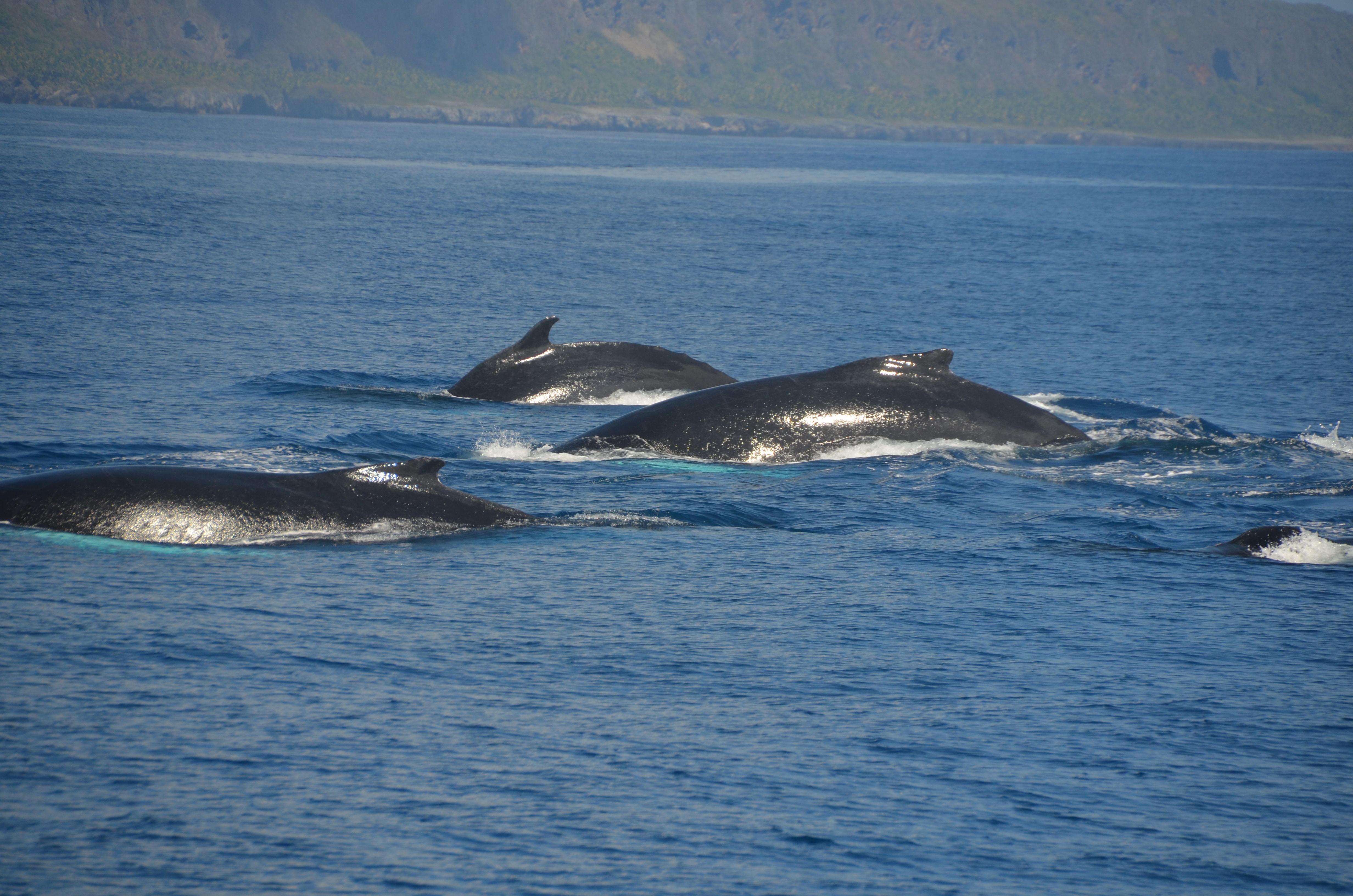 Humpback Whales Samaná Dominican Republic 2014 Whale Humpback Whale Samana