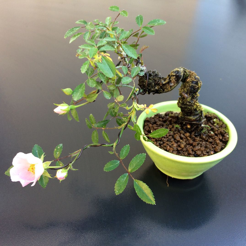 Rosier wichuraina Rosier, Mini bonsaï, Bonsaï mame