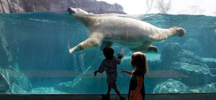 Ver cómo nadan los osos polares en Wiinipeg