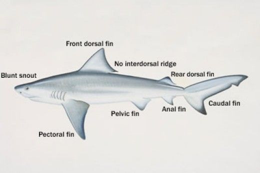 Bull Sharks Facts | Under the Sea | Pinterest | Shark, Shark facts ...