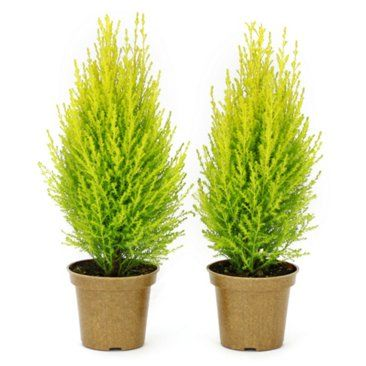 "Check out this item at One Kings Lane! 12"" Lemon Cypress Cones, Live"