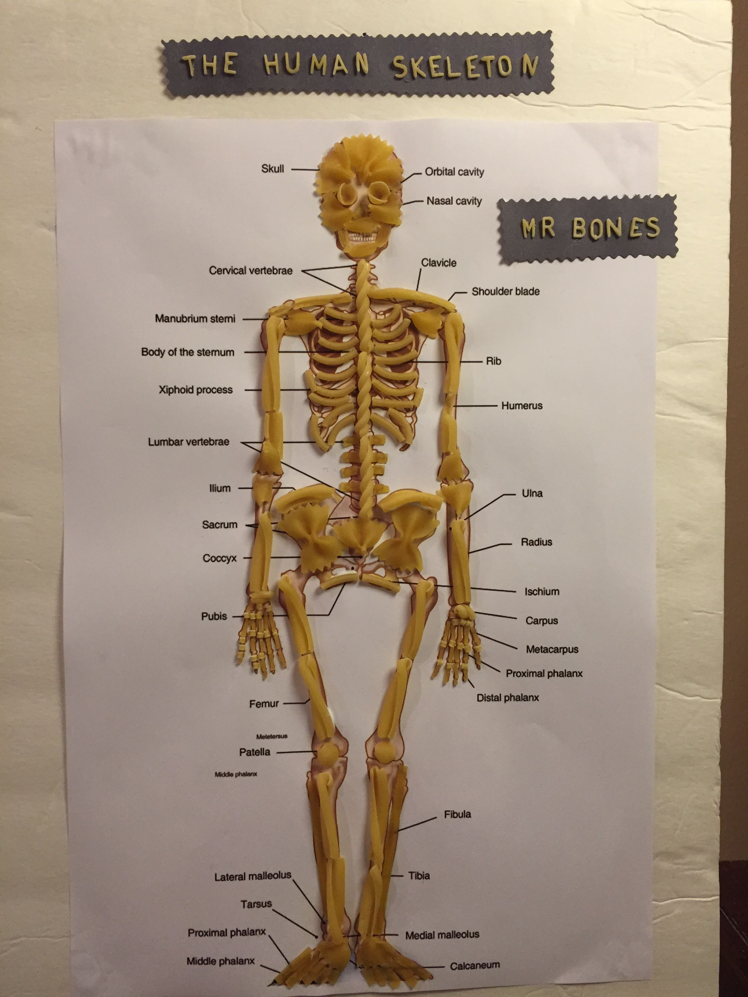 Memorable Skeletal System Worksheet