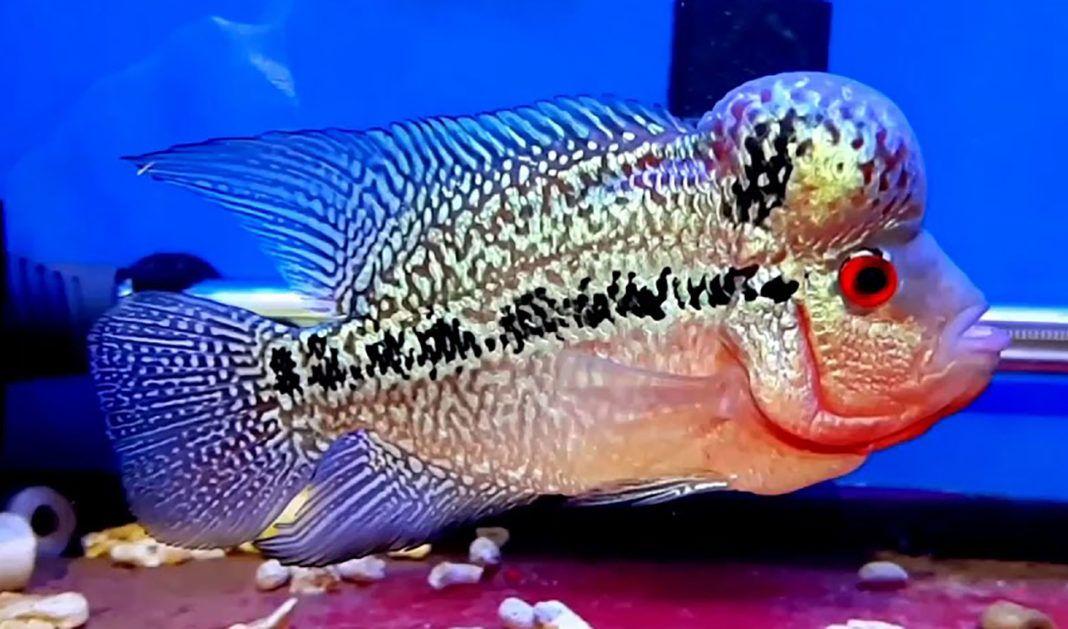 Kamfa Malau Flowerhorn Flowerhorn Fish pet, Sunken