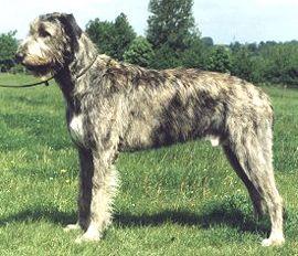 Brindle Irish Wolfhound