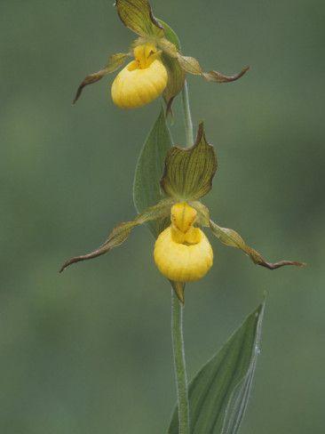 Yellow Lady's Slipper, Cypripedium Calceolus, Orchidaceae, North America Photographic Print