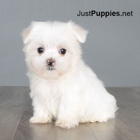Maltese Puppies For Sale Washington Dc 500 Maltese Puppy