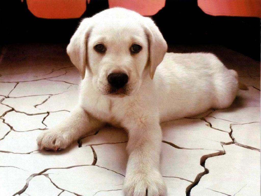 Little Marley Cachorros De Laboratorio Ratones De Mascota Animales Bonitos