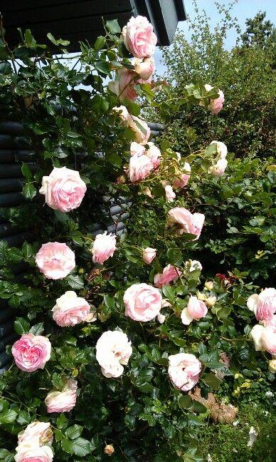Mormors roser