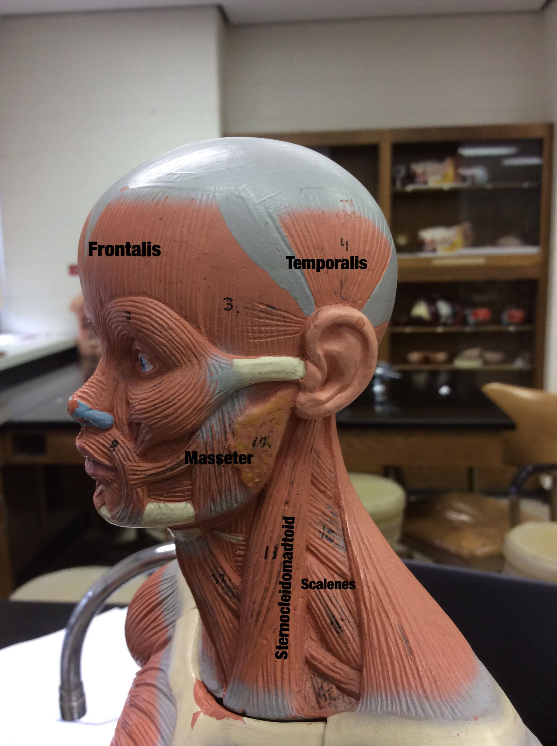 Anatomy & Physiology Lab practical  Labeling images using