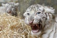 Two eight-week-old white tiger (Panthera tigris) cubs are seen after a medical examination by veterinary surgeons at Bratislava Zoo February 8, 2013. Three white tigers, a male named Adzaj and two females Adisa and Asira were presented to the media for the first time on Friday.  REUTERS/Radovan Stoklasa (SLOVAKIA - Tags: ANIMALS SOCIETY)