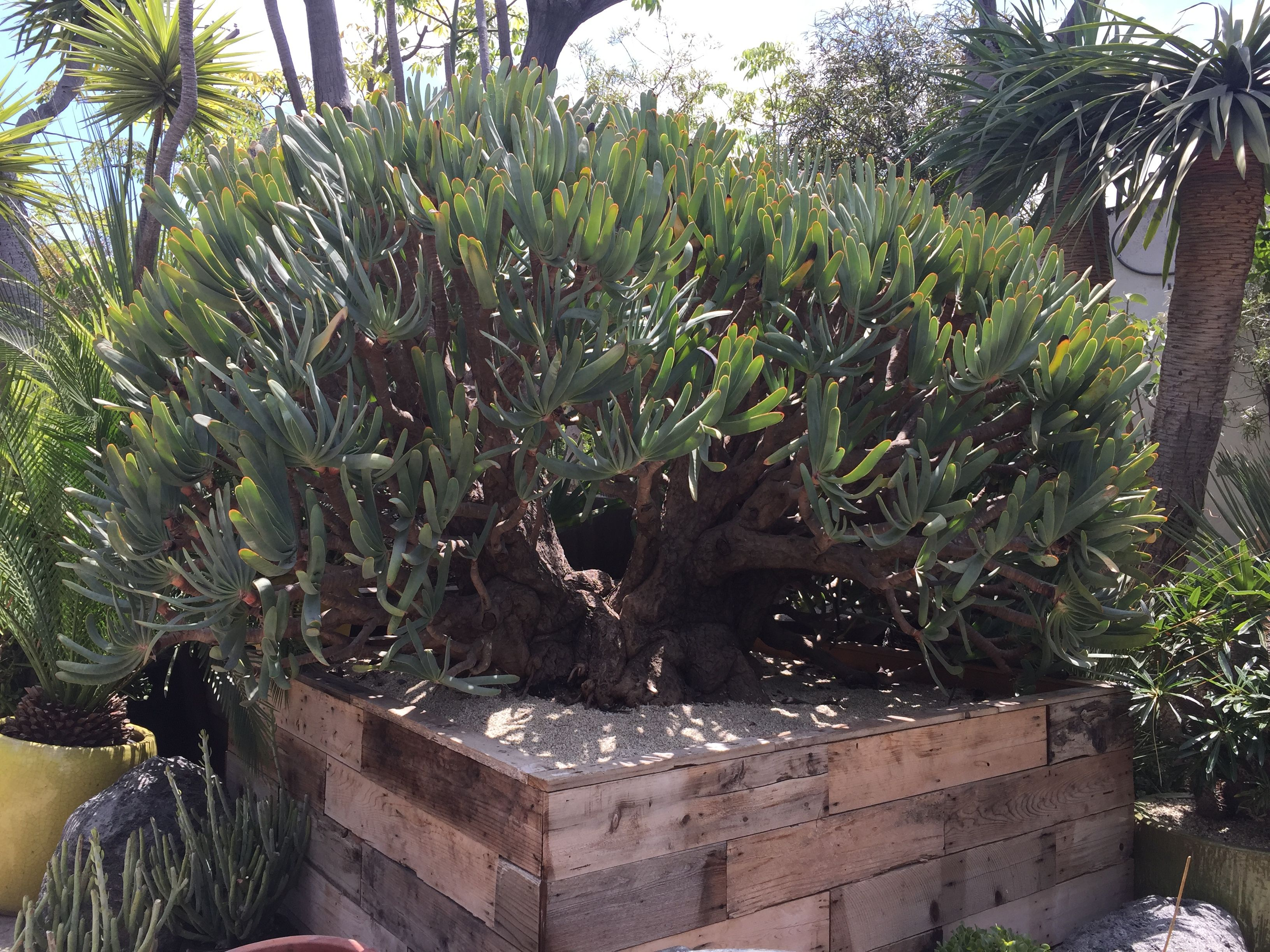 Check Out This Aloe Pictalis At A Local Nursery
