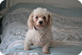 Hagerstown Md Poodle Miniature Mix Meet Zoe A Dog For