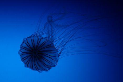 jellyfishlove