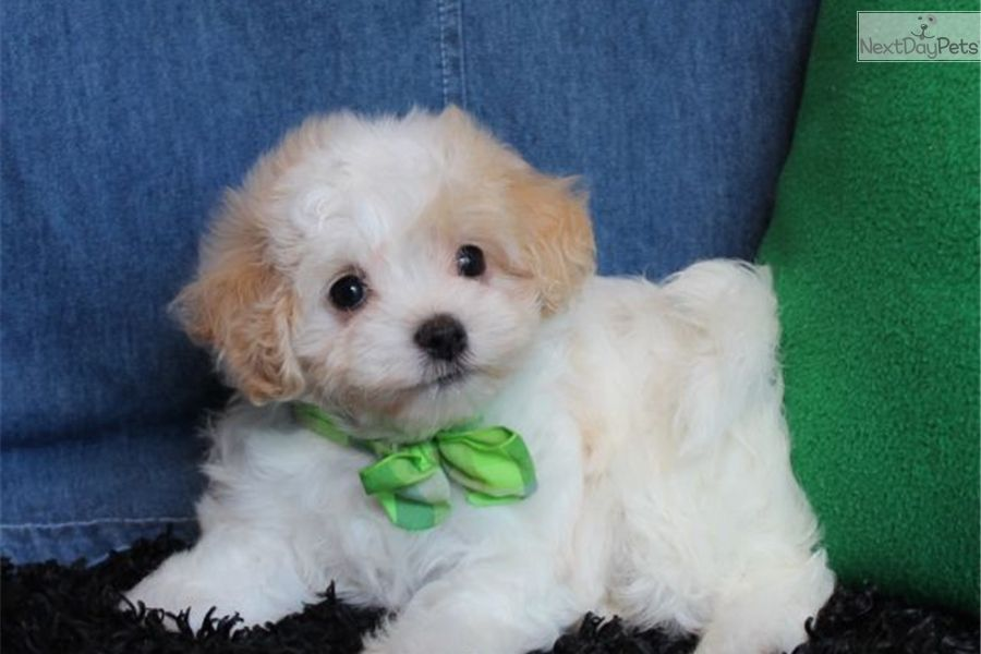 Malti Poo Maltipoo Puppy For Sale Near St Louis Missouri