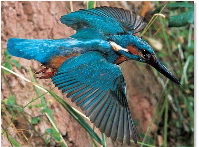 Eurasian Kingfisher Birds Kingfisher Bird Kingfisher Birds