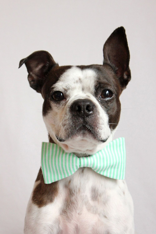 Pin by Malia Robertson on Boston Terriers Dog bowtie