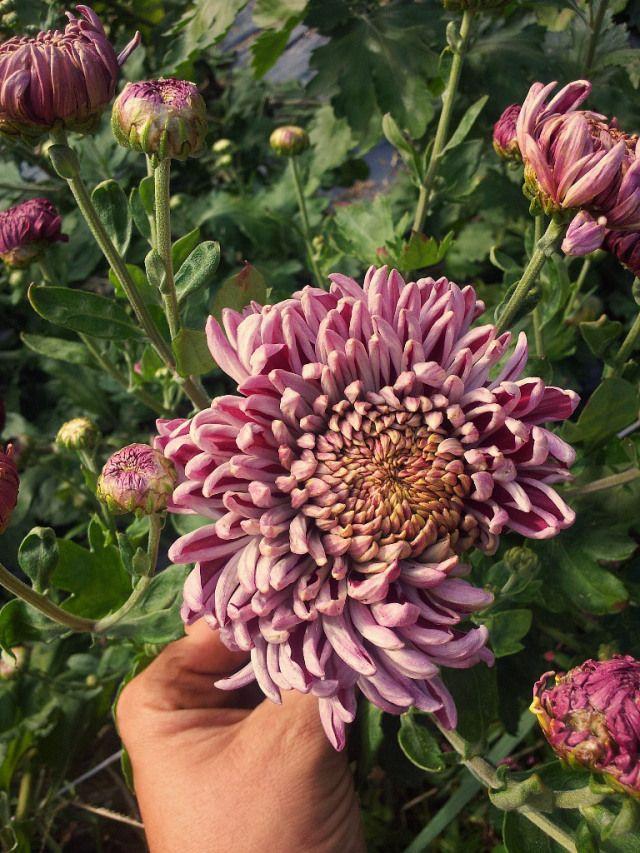 Forget Me Not Flower Farm Flower Farm Mums Flowers Chrysanthemum