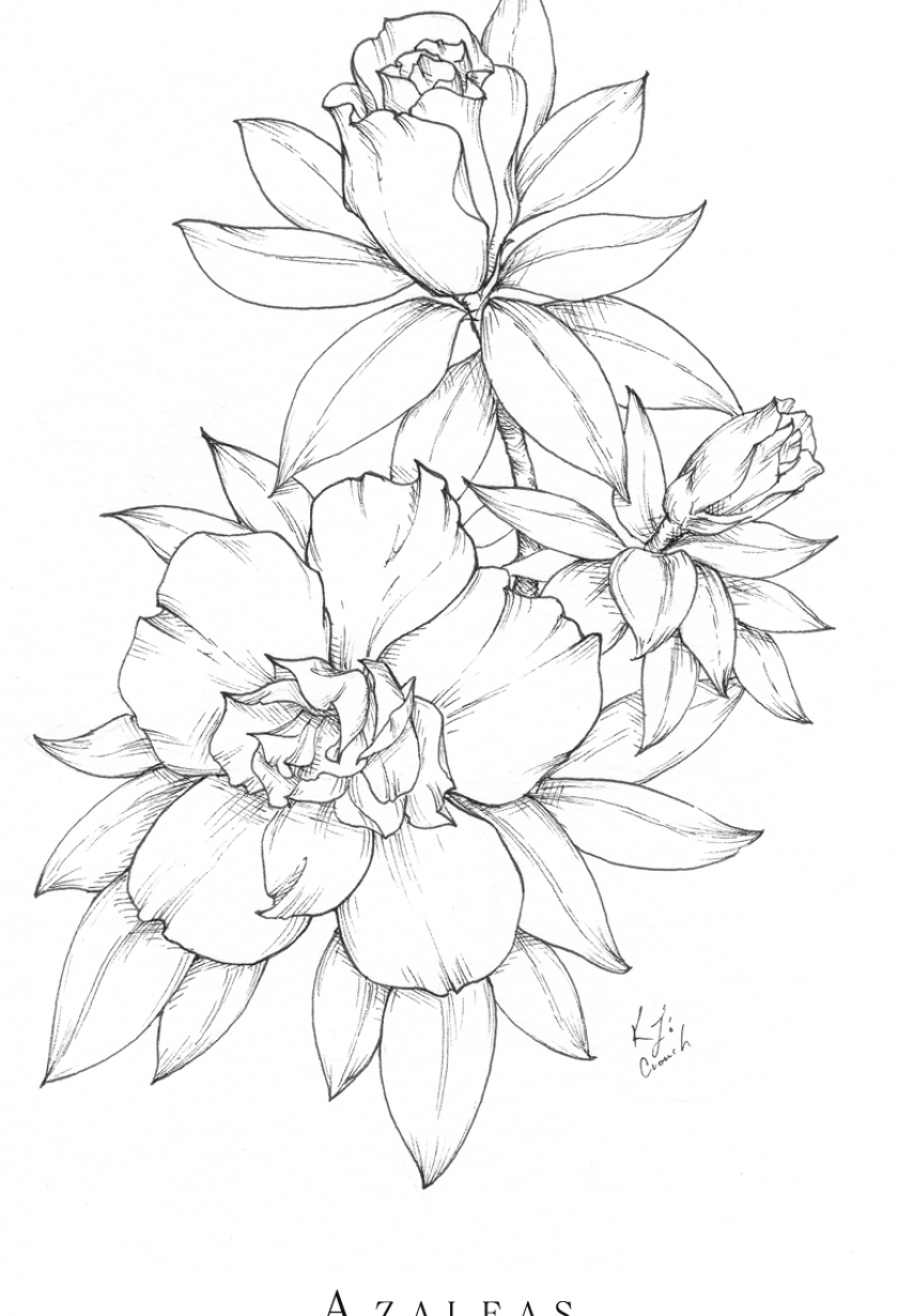 The Accompanying Drawings Made In Different Ways Have Been Chosen To Help Characterize And Also To Stretch The Boundari In 2020 Flower Drawing Azalea Flower Drawings