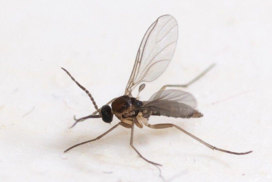 Fungus Gnat Control Fungus Gnats In Houseplant Soil Knats In