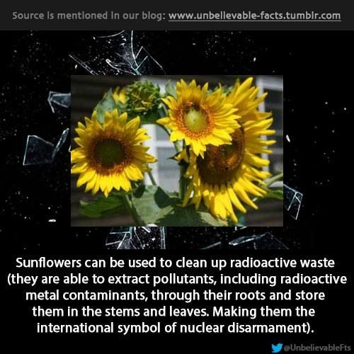 I've always liked them but didn't know why... Now I have a reason. Let's plant sunflowers.