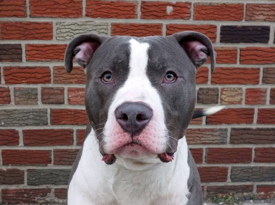 TO BE DESTROYED 3/16/14 Brooklyn Center -P  My name is BIGGS. My Animal ID # is A0993309. I am a male blue and white pit bull. The shelter thinks I am about 9 MONTHS old.  I came in the shelter as a STRAY on 03/07/2014 from NY 11236, owner surrender reason stated was ABANDON.  https://www.facebook.com/photo.php?fbid=769233743089507&set=a.611290788883804.1073741851.152876678058553&type=3&theater