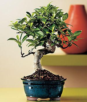 Best Places To Bonsai Ascus Nursery Ebay Miami Tropical