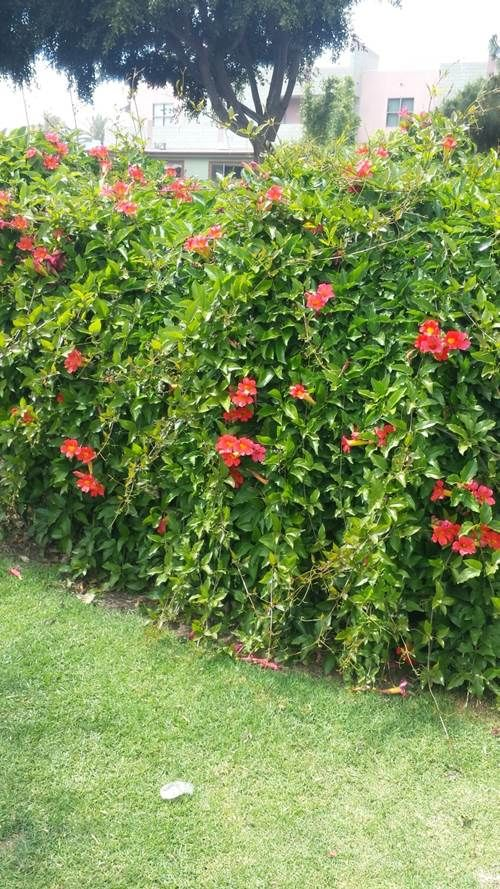 Growing Mandevilla: Here's A Mandevilla Vine Growing On A Fence In A City Park