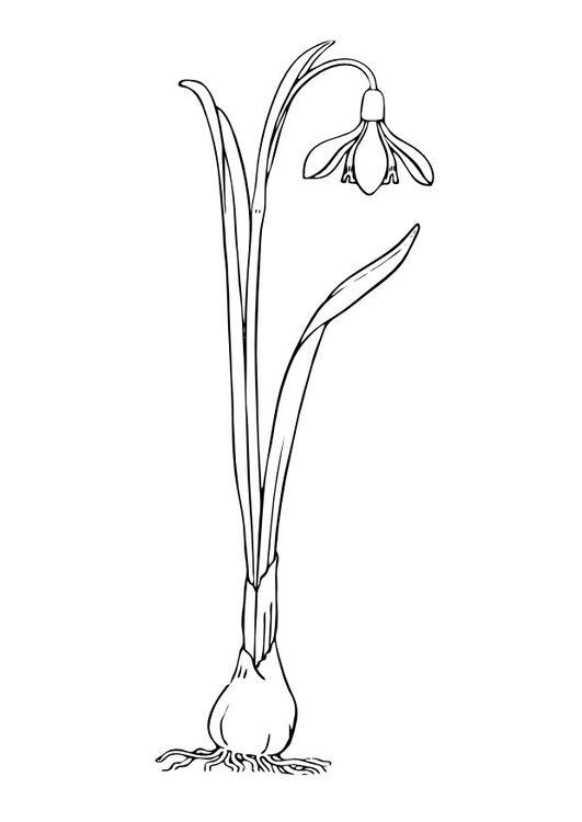 Malvorlage Schneeglöckchen Blumen Schneeglöckchen Basteln