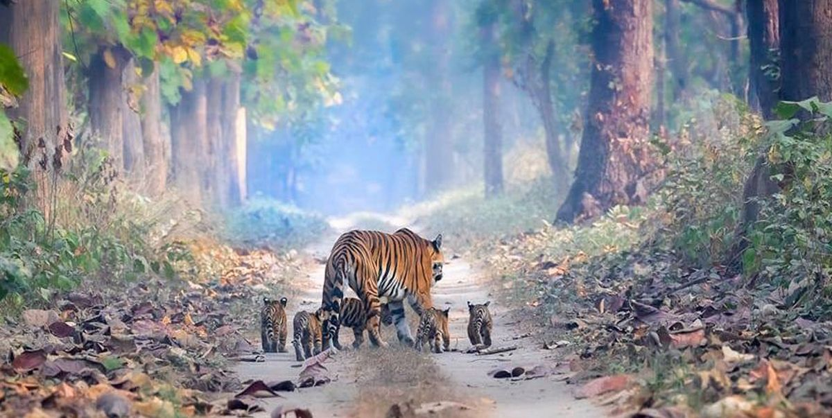 Tigress Pictured Strolling With Her Five Cubs Through