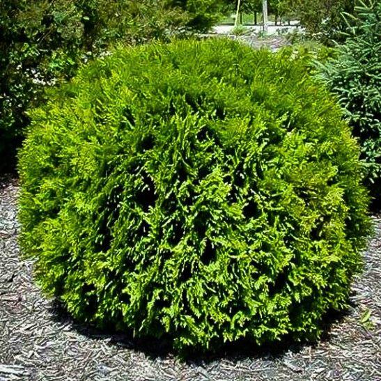 Hetz Midget Arborvitae Shrubs For Landscaping Arborvitae Landscaping Globe Arborvitae